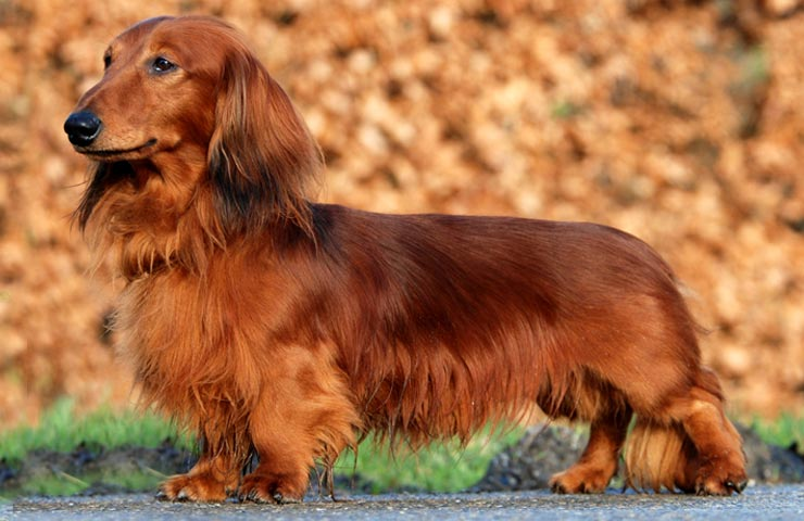 Reeds mini dachshunds of florida is an excited miniature dachshund breeder in florida