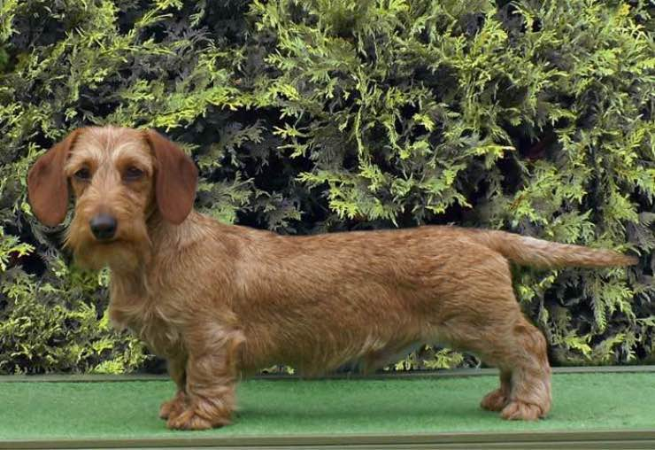 Miniature Wire Haired Dachshund Breeders | Canadian Kennel Club Club Canin Canadien