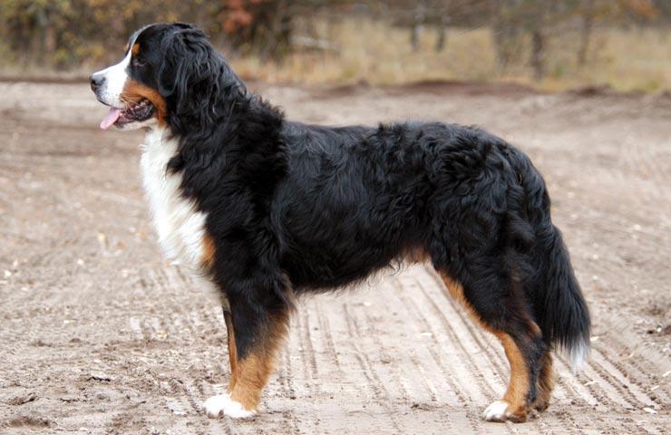 Swiss Mountain Dog Rescue Ontario