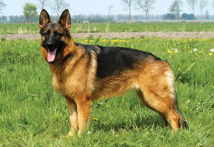 German Shepherd Dogs For Sale Canada
