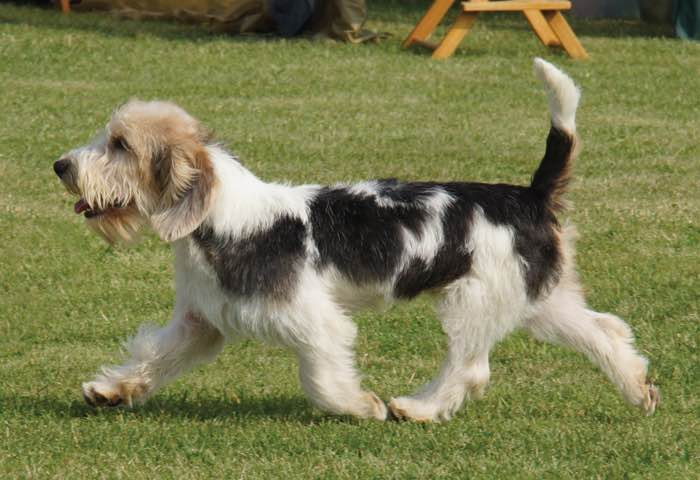 Canadian kennel club club canin canadien - Petit basset griffon vendeen breeders toulon ...