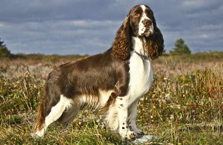 What Is A Sporting Dog Breed