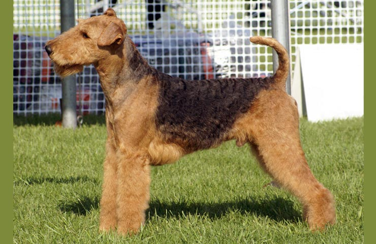airedale terrier club of america - 700×480