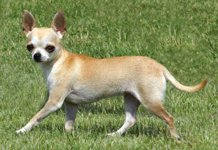 short coat chihuahua canadian kennel club club canin canadien 5482