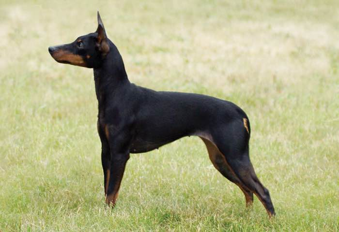 Toy Manchester Terrier : Canadian kennel club canin canadien