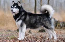 Canadian Kennel Club   Club Canin Canadien