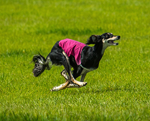 Lure-coursing-Chipperfield-Photography.jpg