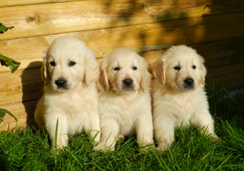 50-retriever-puppies.png