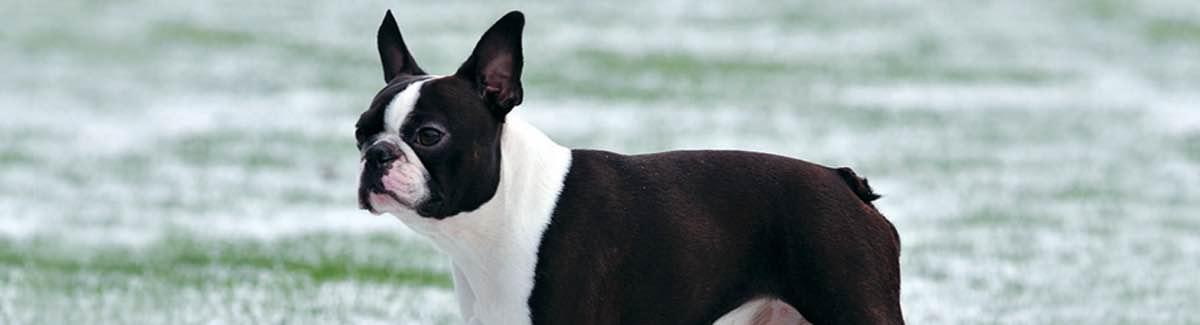 Non-Sporting Dogs | CKC