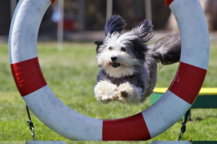 Havanese Cracks Top 5 in Canadian Kennel Club's Top 10 Most Popular