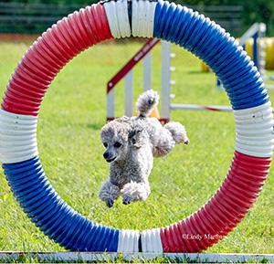 7-Pixel-Poodle-Photo-Lindy-Martin-WEB.jpg