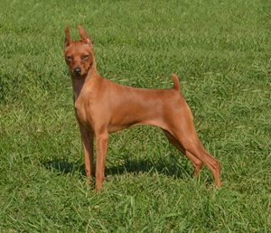 6-Miniature-Pinscher.jpg