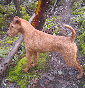 7-Irish-Terrier-2.jpg