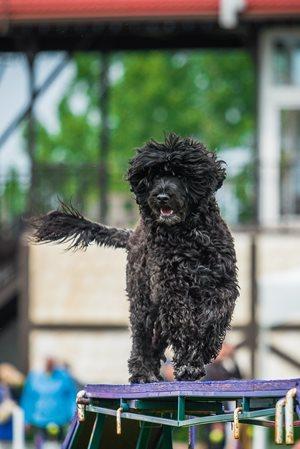 2018 Top Agility Dogs   CKC