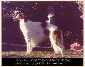 1977 Ch. Kishniga's Desert Song; Borzoi photo courtesy of  Dr. Richard Meen