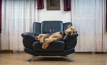 FjaPS0nPTcWsdUr7jSYG_The-Airedale-terrier-dog-sleeping-in-the-chair-843091562_2209x1361.jpeg