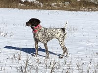 Pointing-Amateur-Shooting-Dog-2-3.JPG
