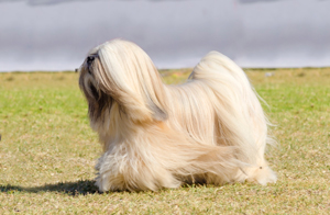 pictured: Lhasa Apso